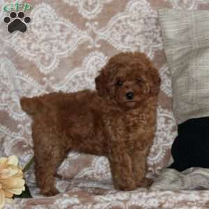 Miniature Poodle Puppies For Sale Mini Poodles Greenfield Puppies
