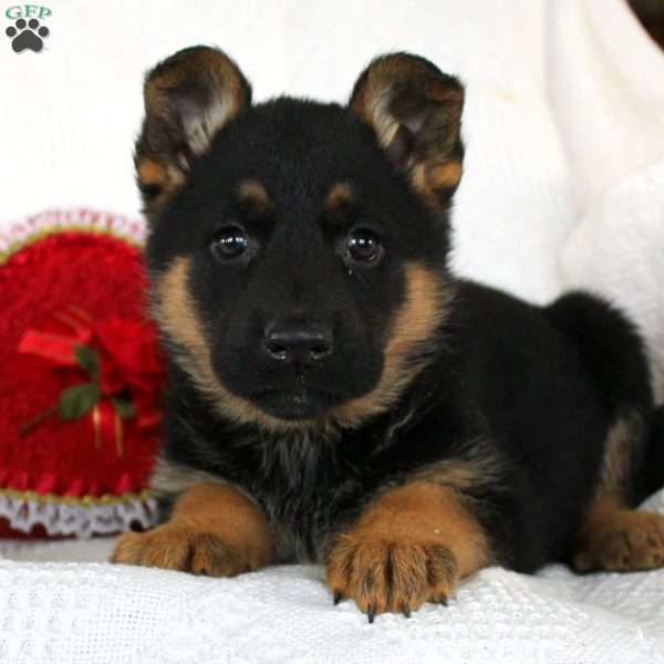 Chrissy, German Shepherd Puppy