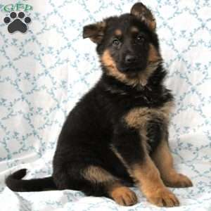 Chuck, German Shepherd Puppy