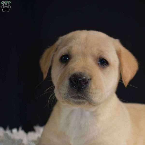 Cinderella, Yellow Labrador Retriever Puppy