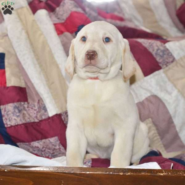 Connie, Yellow Labrador Retriever Puppy