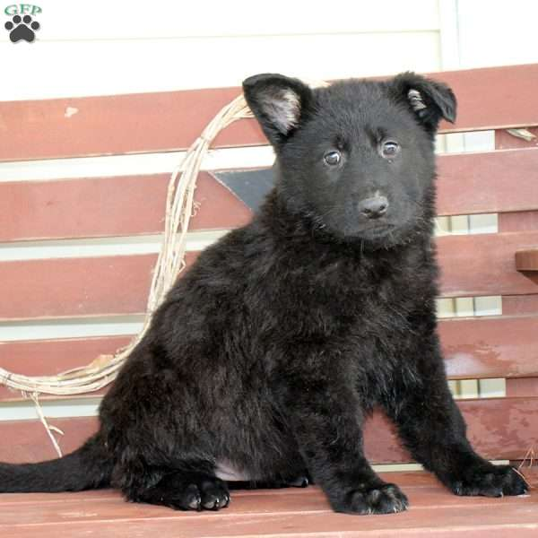 Corbin, German Shepherd Puppy