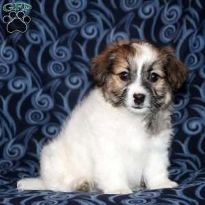 Courtney, Toy Poodle Mix Puppy