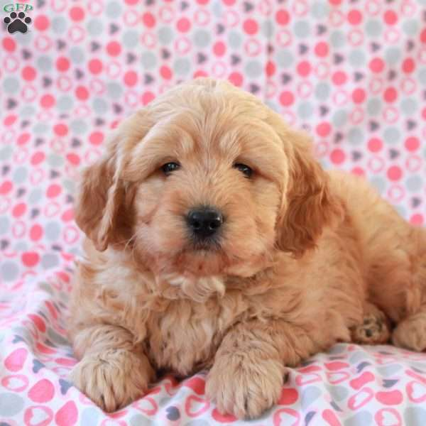Cuddles, Mini Goldendoodle Puppy