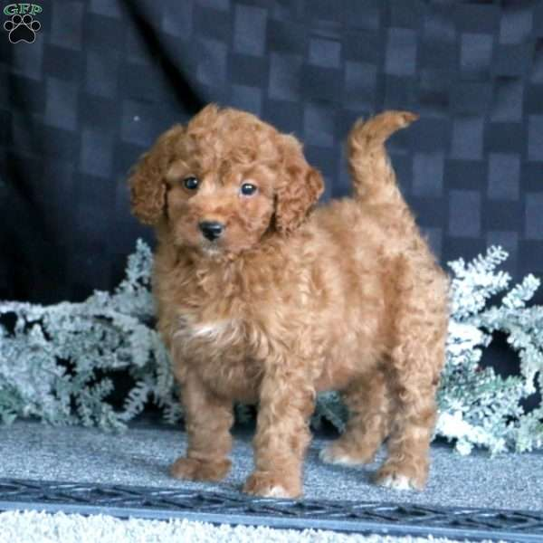 Cutie, Mini Goldendoodle Puppy