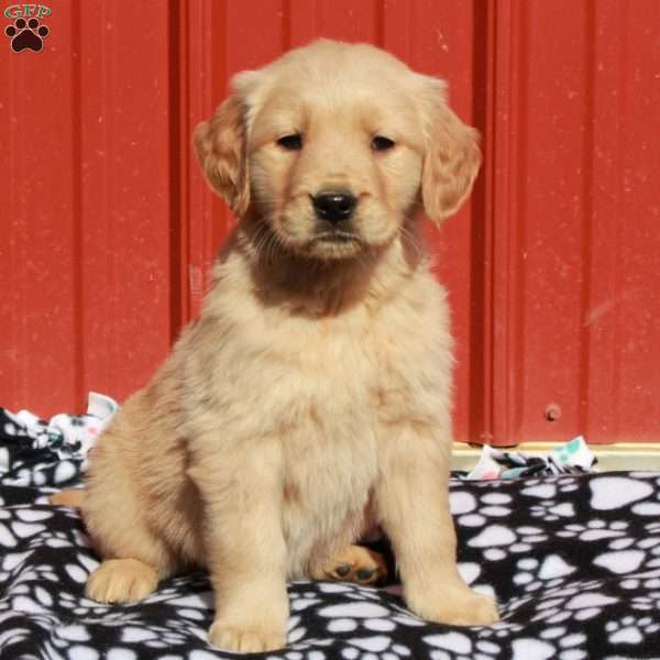 Dacia, Golden Retriever Puppy