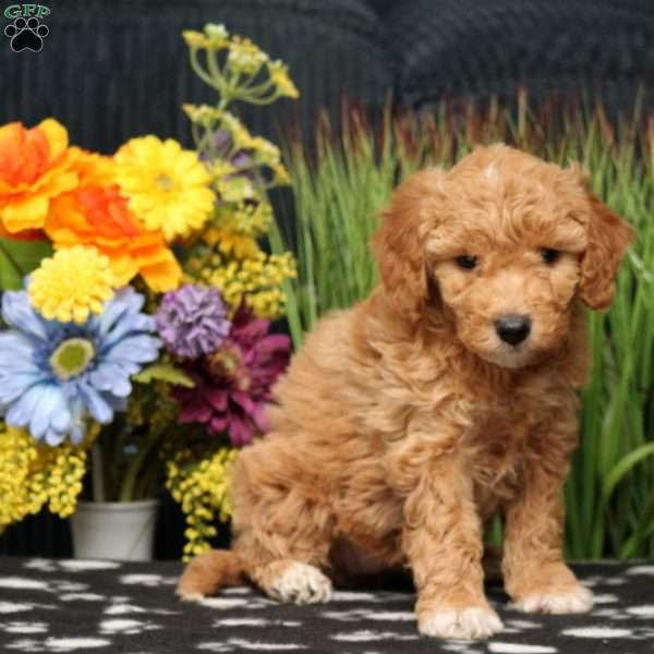 Daisy, Mini Goldendoodle Puppy