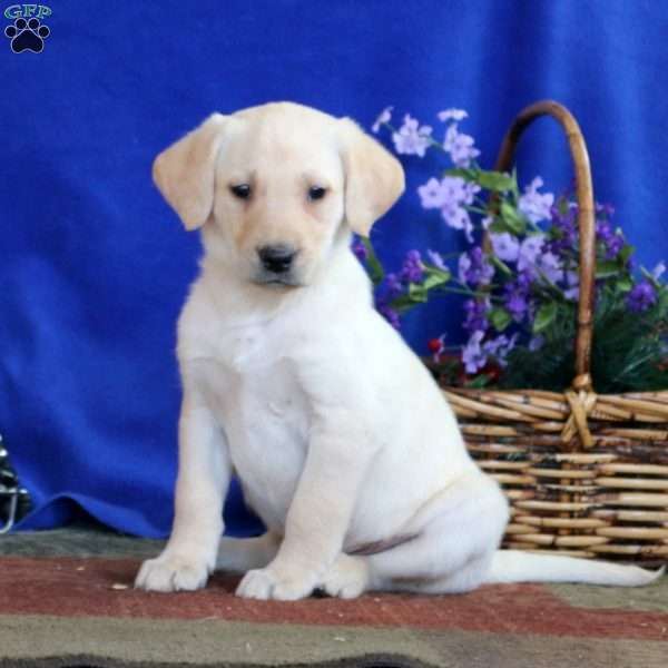 Danielle, Yellow Labrador Retriever Puppy