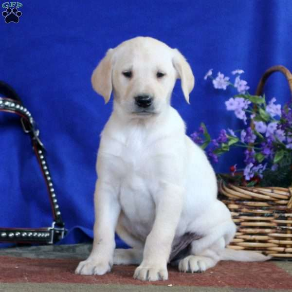 Daryl, Yellow Labrador Retriever Puppy