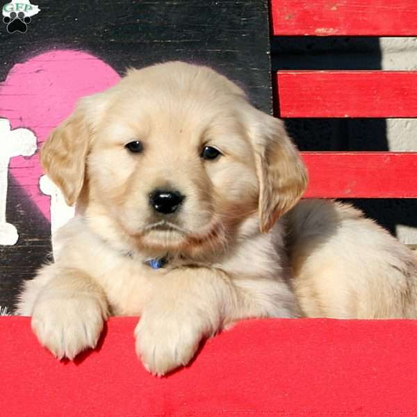 Deidra, Golden Retriever Puppy