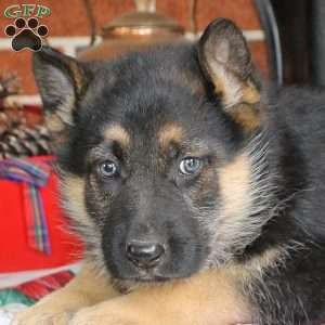 Diana, German Shepherd Puppy