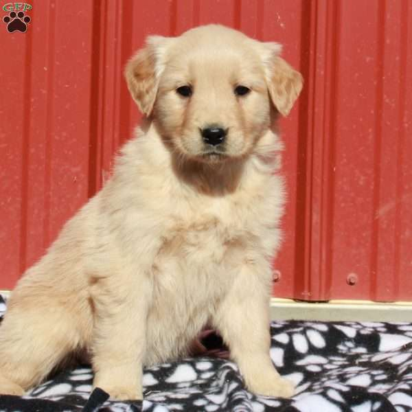 Dixie, Golden Retriever Puppy