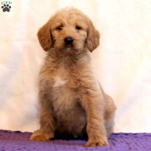 Dodge, Labradoodle Puppy