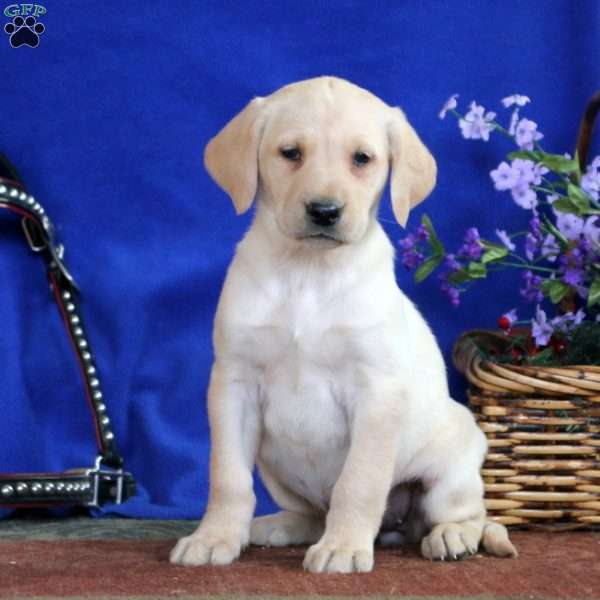 Dolly, Yellow Labrador Retriever Puppy
