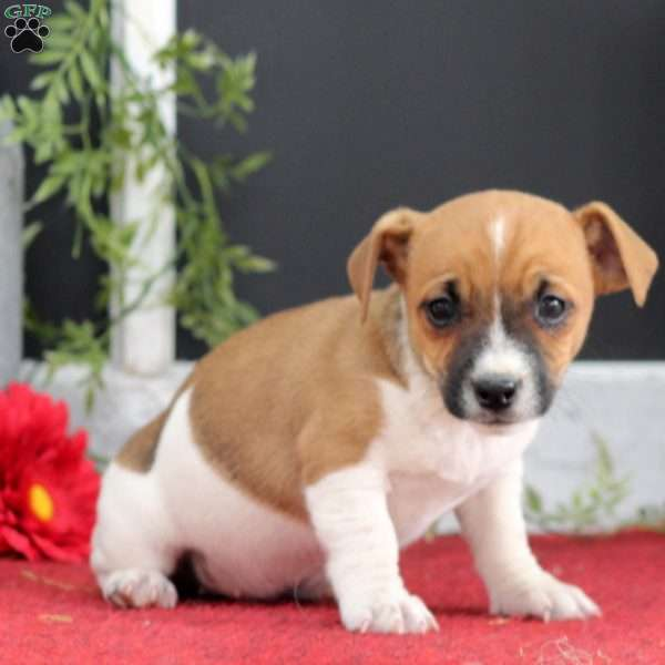 Dolly, Jack Russell Terrier Puppy