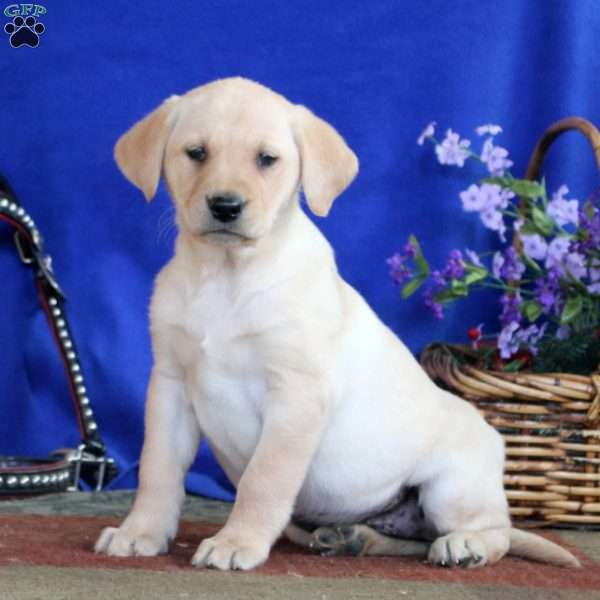 Doris, Yellow Labrador Retriever Puppy