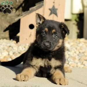 Dorset, German Shepherd Puppy