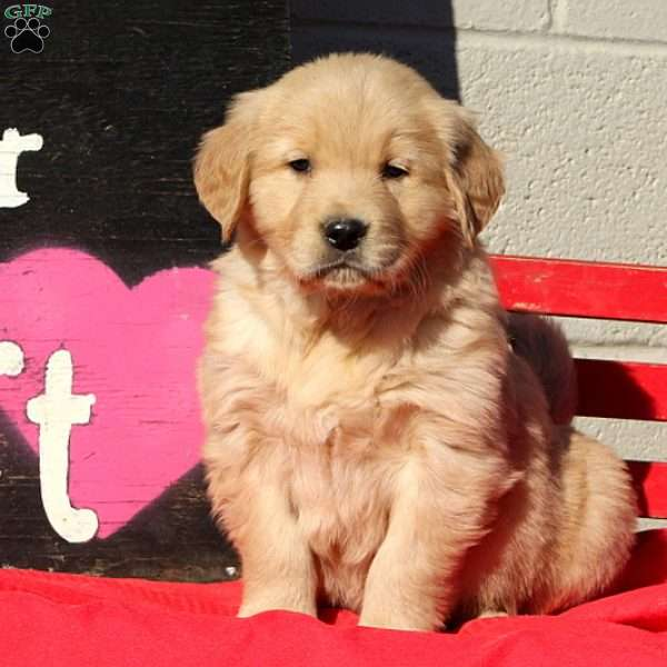 Drake, Golden Retriever Puppy