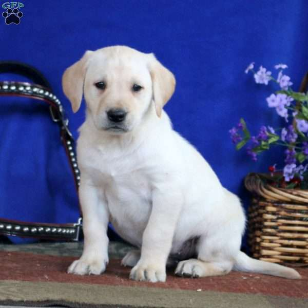Duffy, Yellow Labrador Retriever Puppy