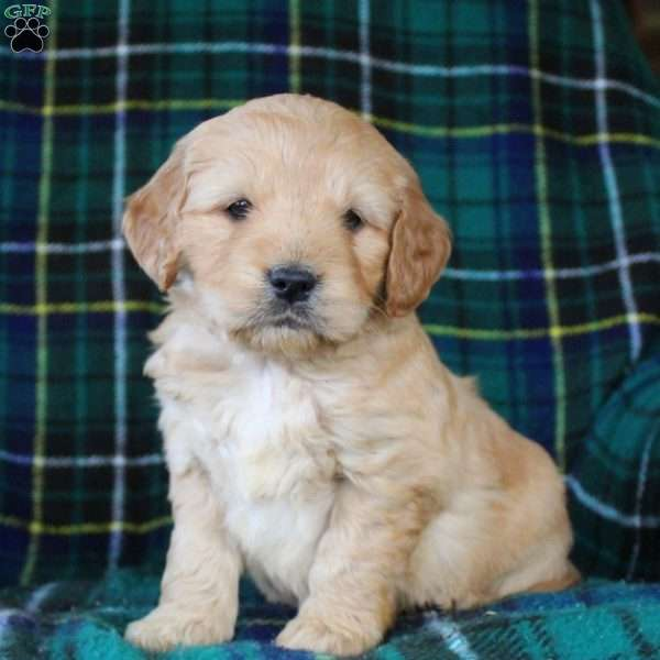 Dutchess, Mini Goldendoodle Puppy