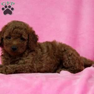 Emily, Mini Goldendoodle Puppy