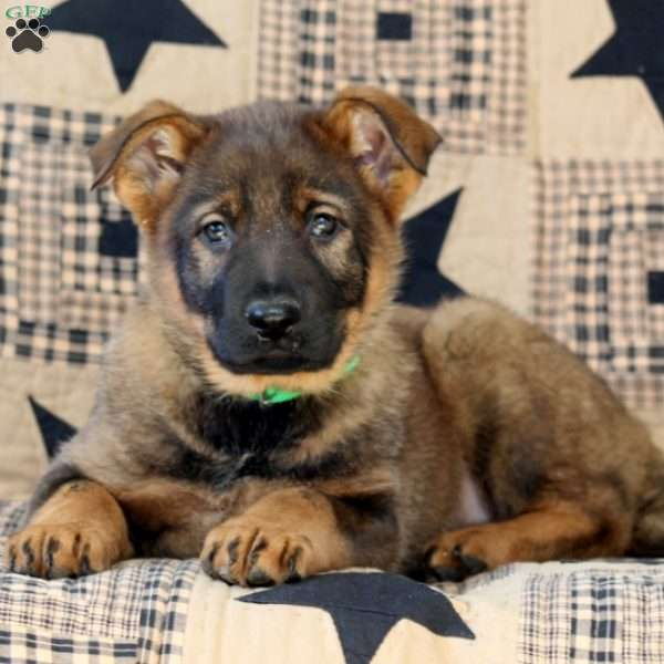 Feather, German Shepherd Puppy