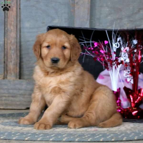 Finley, Golden Retriever Puppy