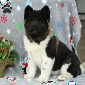 Akita Puppies For Sale Akita Dog Breed Profile Greenfield Puppies