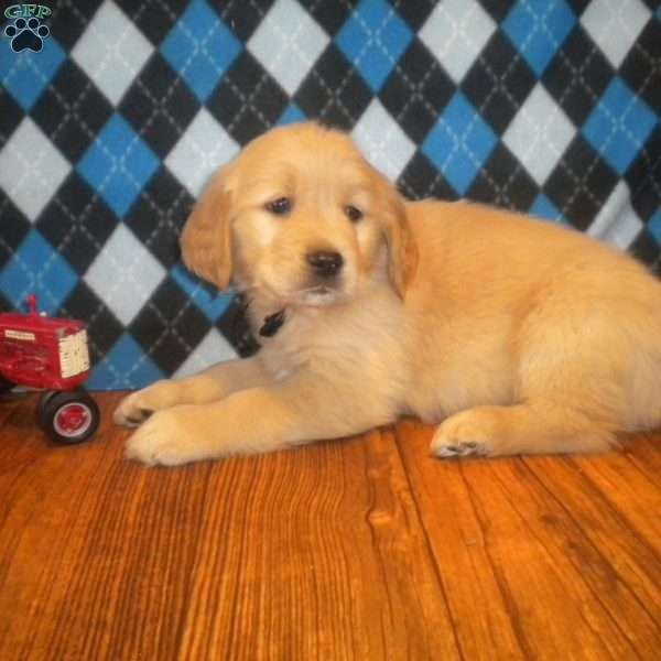 Foxglove, Golden Retriever Puppy