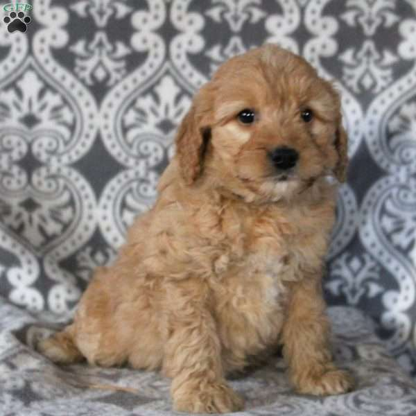 Friendly, Mini Goldendoodle Puppy