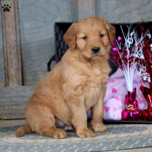 Gavin, Golden Retriever Puppy