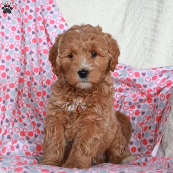 Gidget, Mini Goldendoodle Puppy