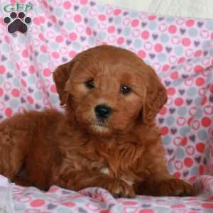 Giggles, Mini Goldendoodle Puppy