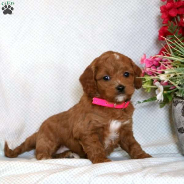 Ginger, Cockapoo Puppy