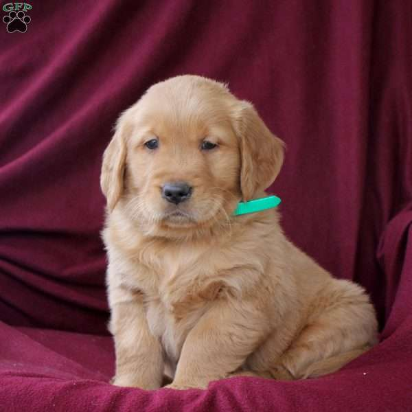 Glenn, Golden Retriever Puppy