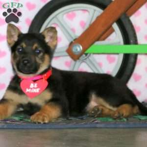 Goldie, German Shepherd Puppy