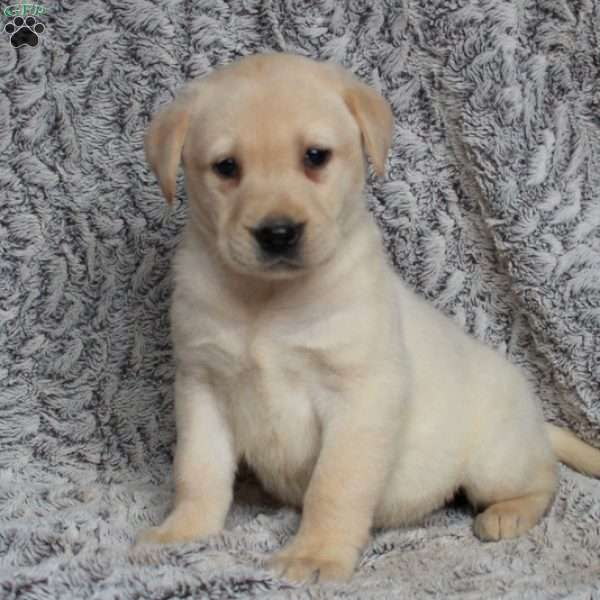 Gordon, Yellow Labrador Retriever Puppy