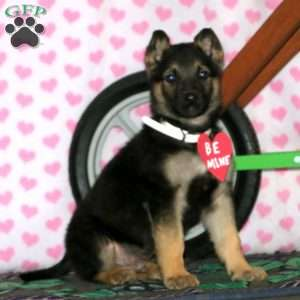 Grizzly, German Shepherd Puppy