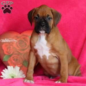Hartly, Boxer Puppy