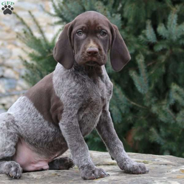 Harvey German Shorthaired Pointer Puppy For Sale In Pennsylvania