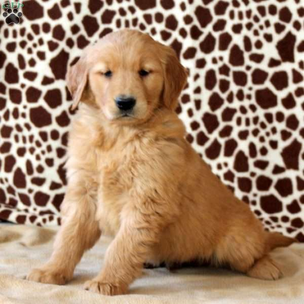 Harvey, Golden Retriever Puppy