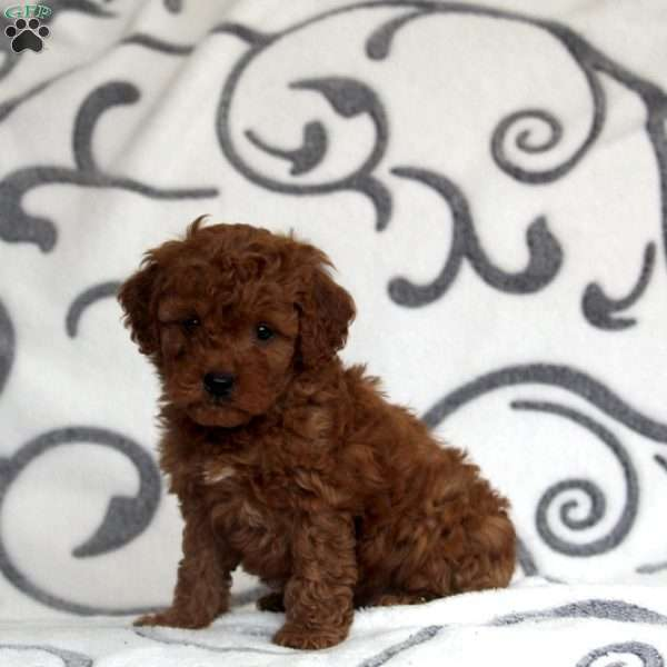 Hawaii, Mini Goldendoodle Puppy
