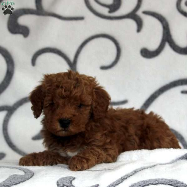 Hayley, Mini Goldendoodle Puppy