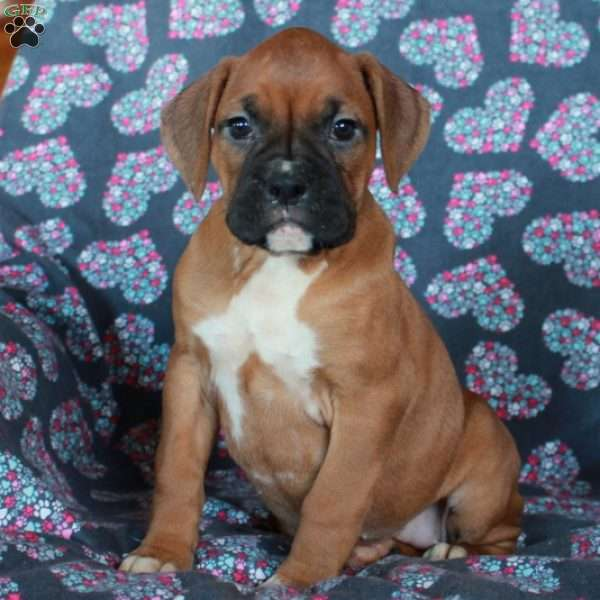 Heather, Boxer Puppy