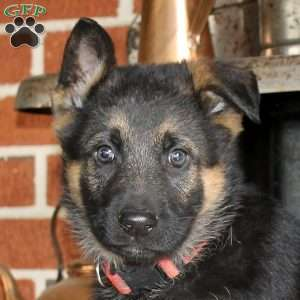 Helios, German Shepherd Puppy