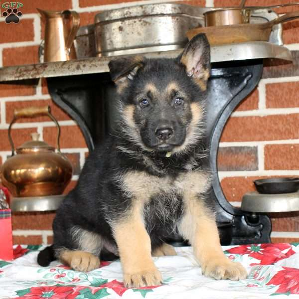 Hercules German Shepherd Puppy For Sale In Maryland