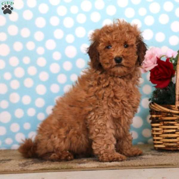 Hoops, Mini Goldendoodle Puppy