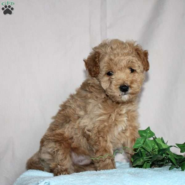 Ike, Mini Goldendoodle Puppy