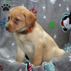 Jaime, Yellow Labrador Retriever Puppy