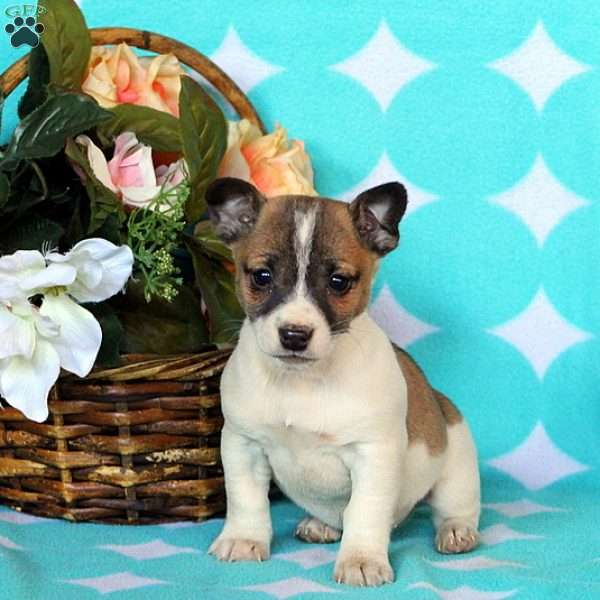Janelle, Jack Russell Terrier Puppy